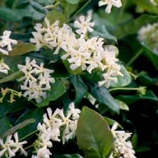 Very Fragrant Plants - 14 fragrant landscape plants the home depot community