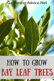 the bay leaf plant how to grow a bay leaf tree as a culinary