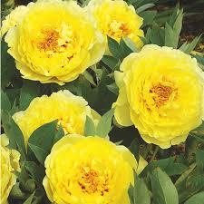 yellow peonies itoh peony yellow crown k bourgondiens