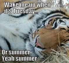 Funny Tiger Memes - lazy tiger summer tuesday memes comics pinterest lazy