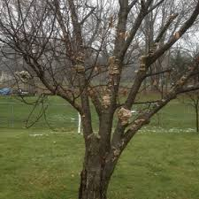 mesabi cherry tree fungus or mold ask an expert