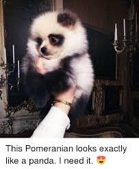 Pomeranian Meme - umi pomeranian 毛小孩 pomeranian meme on me me