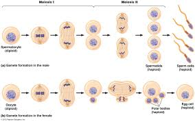 Asexual Reproduction Worksheets Mitosis Wikipedia Cell Growth U0026 Devision Pinterest Division