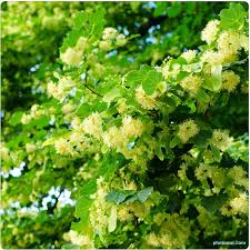 linden flower how to make linden tea