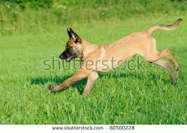 belgian malinois puppies 6 months malinois puppy dog 4 months old stock photo 80500231 shutterstock