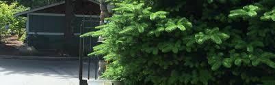 gilmore arborist llc ornamental tree pruning gig harbor