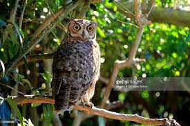 great horned owl on tree south africa africa stock photo