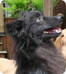 belgian shepherd kijiji cola adopted dog 8579301 london on schipperke pomeranian mix