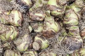 tips on storing amaryllis bulbs how to overwinter an amaryllis bulb
