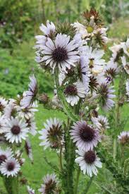 21 best prairie images on pinterest native plants flower