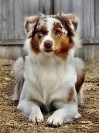 australian shepherd mini puppy 2144 best australian shepherds images on pinterest animals