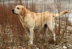 belgian shepherd x labrador what are the smartest dog breeds caninejournal com