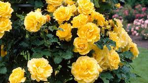 yellow roses with tips beauty of yellow roses interesting facts gardening tips