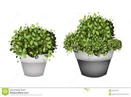 green trees in terracotta flower pots on white background stock