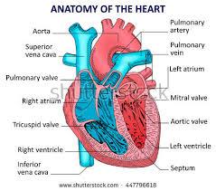 Diagram Heart Anatomy Anatomy Human Heart Stock Vector 315182591 Shutterstock