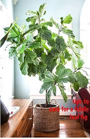 Fig Flower - 58 best fiddle leaf fig tree images on pinterest fiddle leaf fig