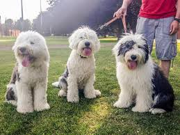 belgian sheepdog pros and cons 10 reasons why we love old english sheepdogs u2013 animal hearted apparel