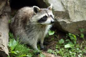 guard your garden raccoons official blog of park seed