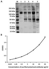 purification of a polyclonal antibody against cd147 for elisa