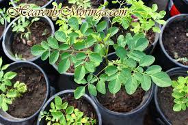 buy moringa trees buy sacramento moringa trees northern