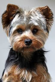 yorkie haircuts pictures only awww just look at that face lets face it pinterest