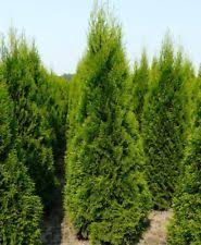conifers plants ebay