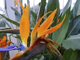 how to grow bird of paradise indoors