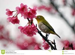japanese white eye on a cherry blossom tree stock image image of