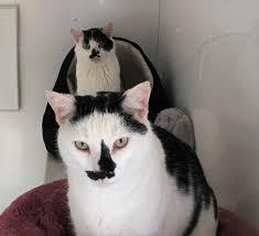 Seeking Adolf Cat Looks Just Like Adolf Barnstaple Bideford And