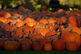 cute fall background wallpaper pumpkins halloween pumpkin patch wallpaper maroonbeard com