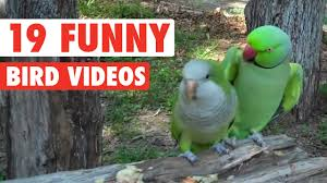 Crazy Bird Meme - 19 funny bird videos awesome compilation youtube