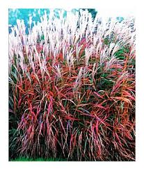 choice landscaping garden center ornamental grasses