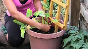 how to stake a zucchini plant in a container the chef u0027s garden