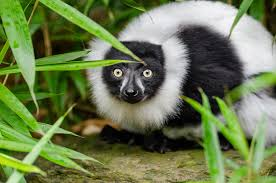 lemur madagascar free stock photo public domain pictures
