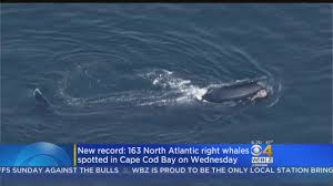 new record 163 north atlantic right whales spotted in cape cod