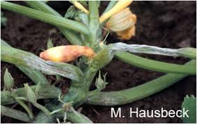 Squash Plant Diseases Pictures - look for phytophthora disease on summer squash and zucchini now