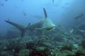 all about the spectacularly weird great hammerhead shark