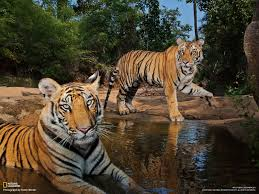 tigers photo gallery national geographic magazine