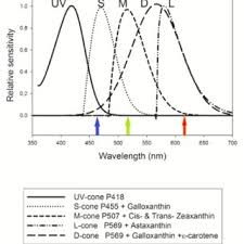 uv l short and long wavelength fig 1 graph of cone spectral sensitivity showing long l