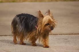 australian shepherd yorkie best toy breed ever yorkshire terrier yorkie fun facts dogs 101