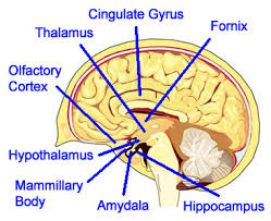 Thalamus Part Of The Brain Limbicsystem Jpg