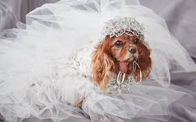 dog wedding dress when your dog s wedding is nicer than your own the 12ish style