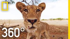 lions 360 national geographic