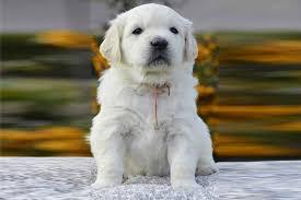 golden retriever puppies breed information u0026 puppies for sale