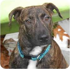 american pit bull terrier brindle copper adopted puppy smithfield va belgian malinois
