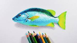 how to draw a fish prismacolor colored pencils tutorial youtube