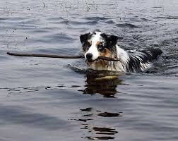 dirty south australian shepherds 1000 images about australian shepherd on pinterest australian