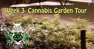 cannabis garden tour week 3 flower hydroponic weed garden