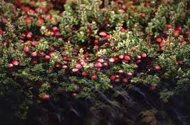 plants native to ireland cranberry wikipedia