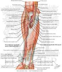 Human Anatomy Anterior Of Forearm Intermediate Layer Anterior View